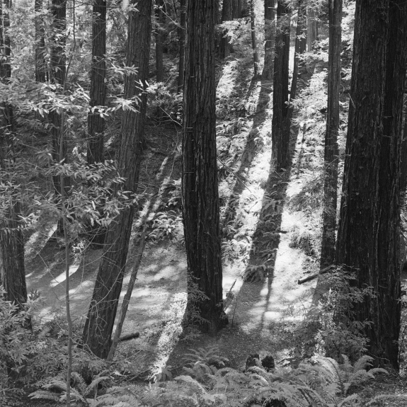 Black and white photograph of a redwood forest.