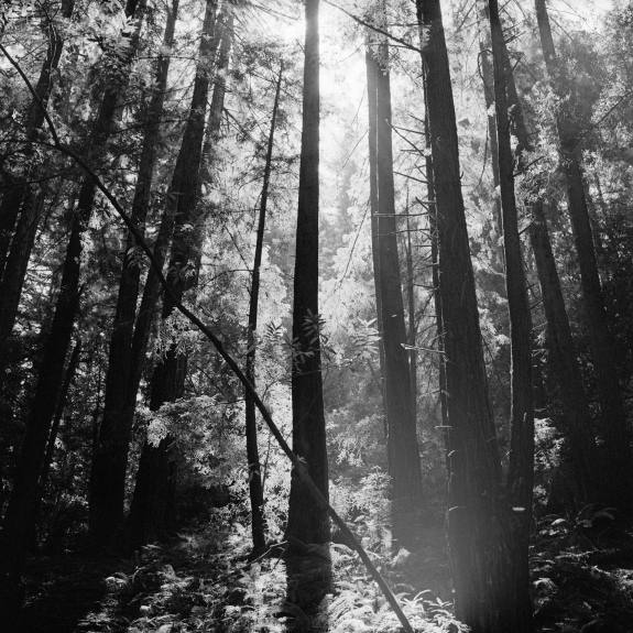 Black and white photograph of redwood trees in silhouette.